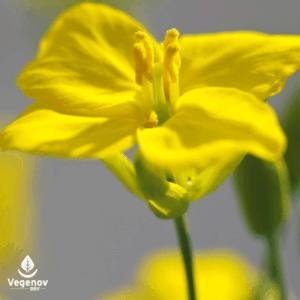 Pollen Viability Analysis at Vegenov.