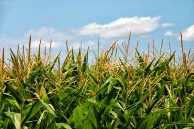 Corn pollen in corn field