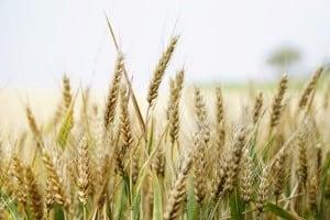 Wheat pollen in wheat field