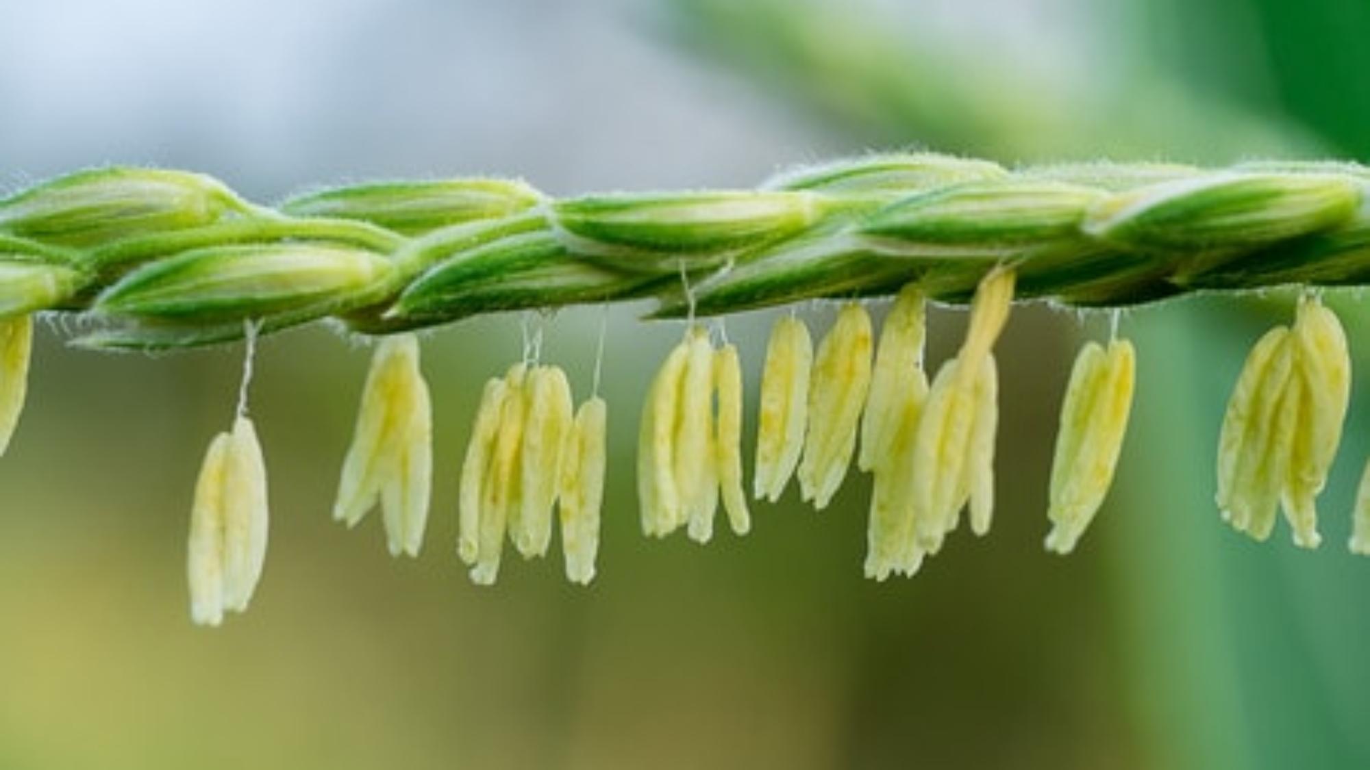 Corn pollen on corn tassel