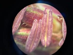 Corn anthers under the magnifying glass