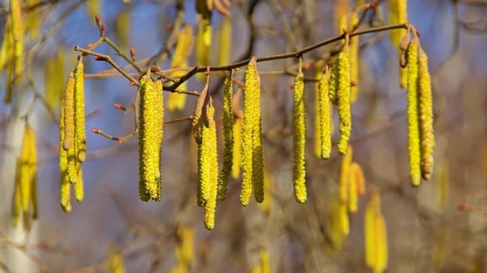 a picture of hazelnut catkins shedding pollenins