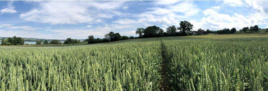 A fotograph of a wheat field in Switzerland