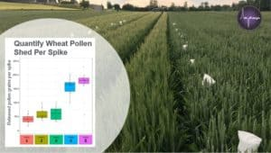 a picture of a wheat field with bagged spikes for pollen collection